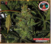 Critical Mass Automatic
