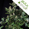 Auto White Widow fem Bulk Seeds